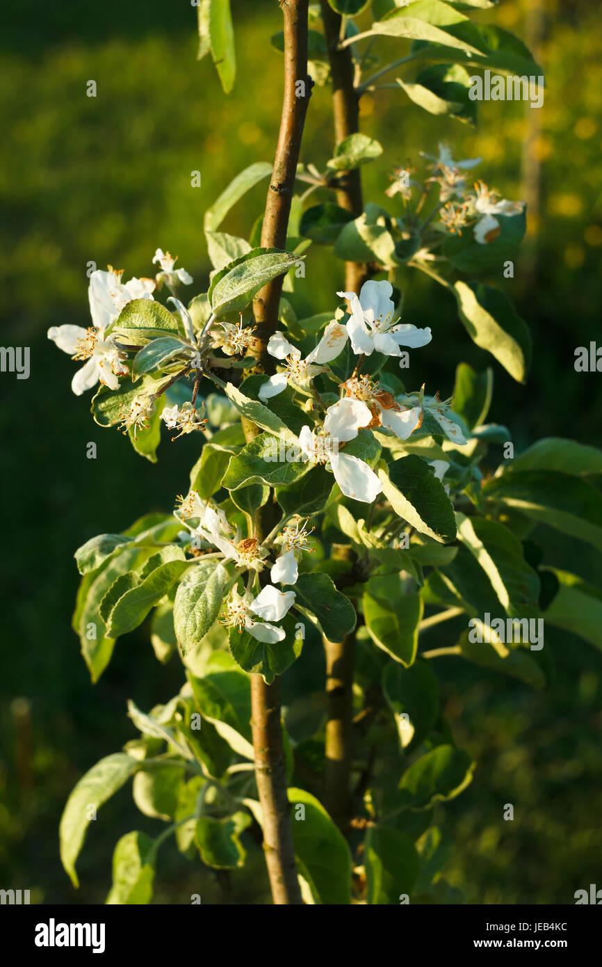 Columnar apple tree in late bloom - Stock Image