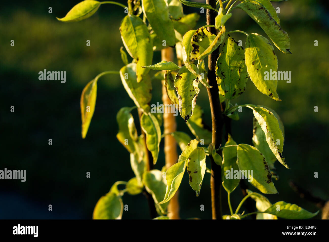 Blackening of the leaves on a pear tree due to cold weather - Stock Image