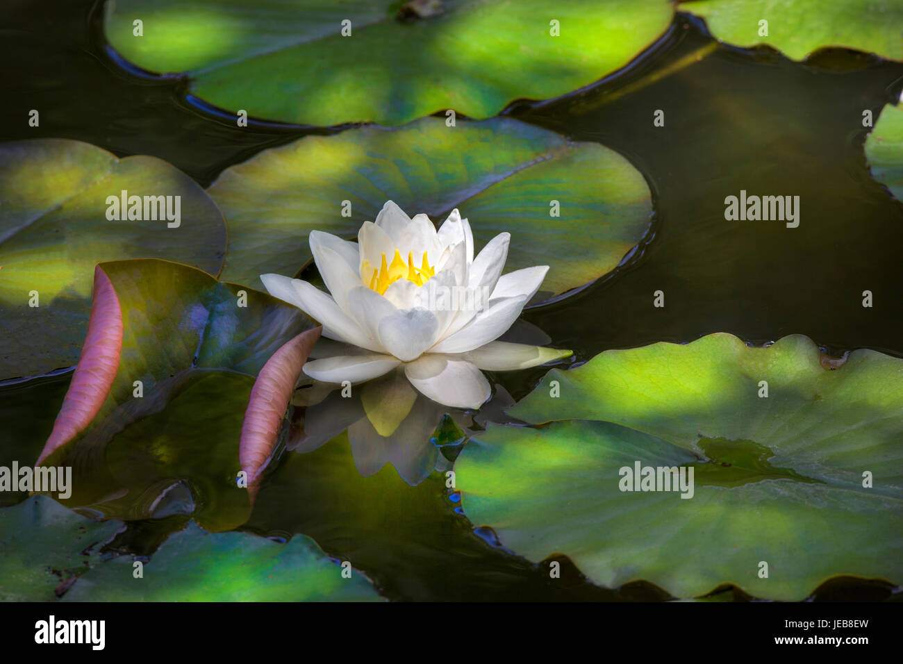 Water Lily - Stock Image