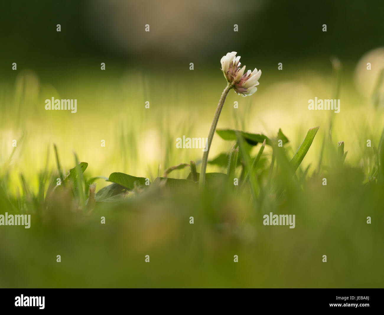 Blooming white clover in the shadow and blurred background with sunlight, low depth of field - Stock Image