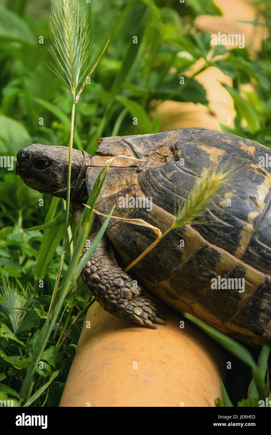 Turtle over the pipe overcoming obstacles - Stock Image