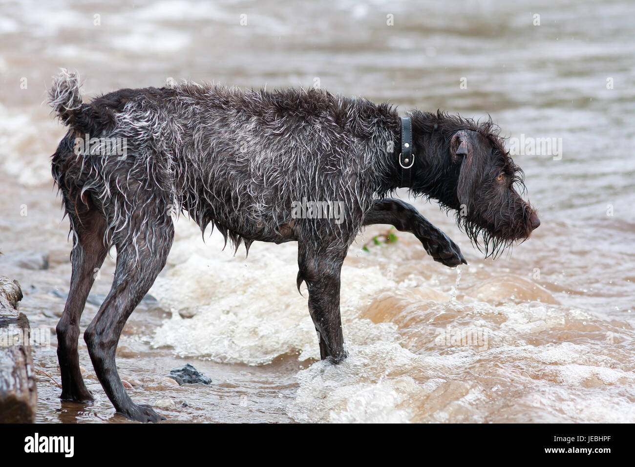 hunting dog german wirehaired pointer on the river Stock Photo ...