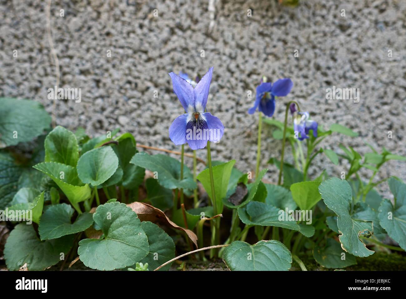viola odorota - Stock Image