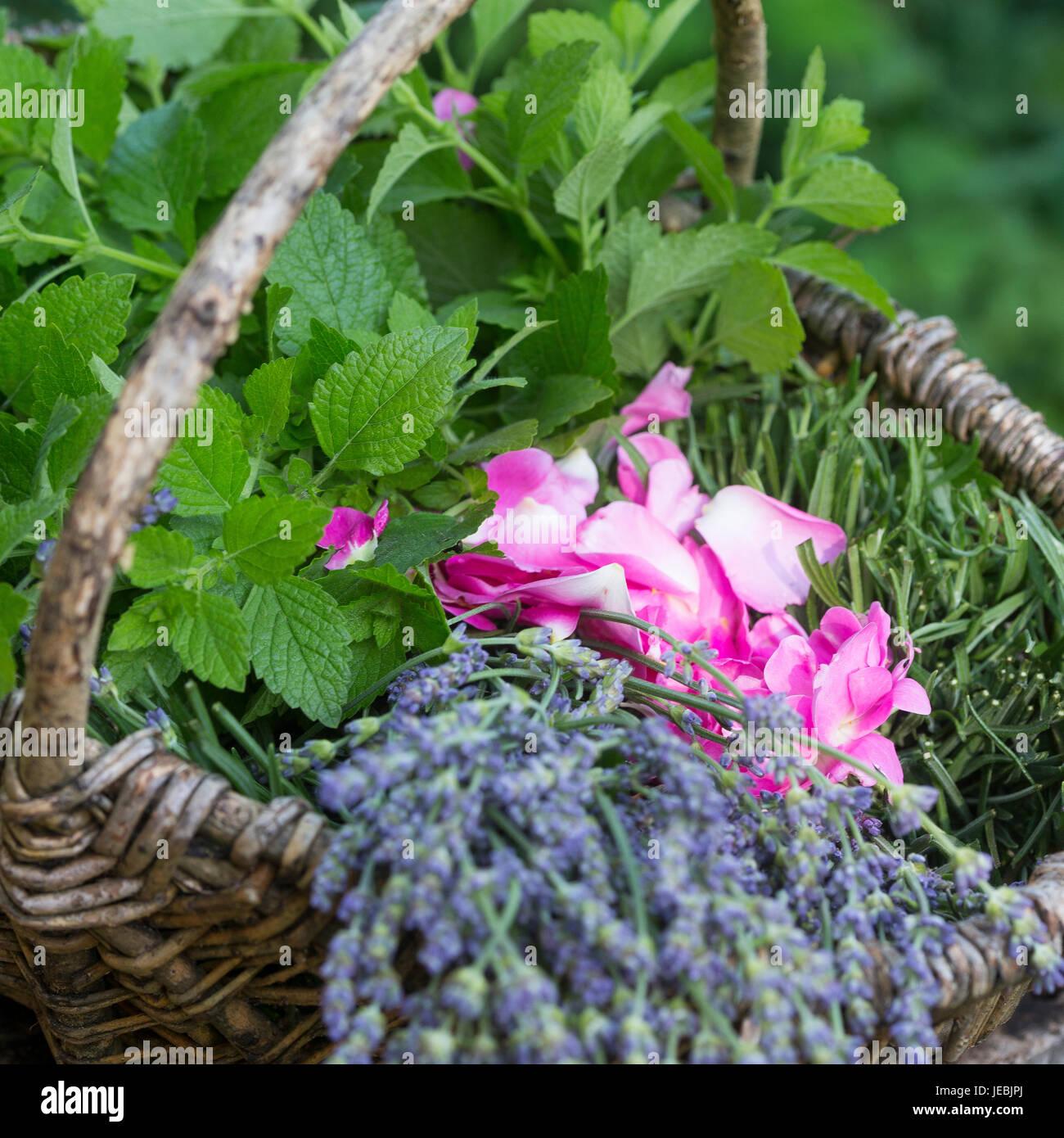 Apothekerrose, Zitronenmelisse, Lavendel als Zutaten für einen Beruhigungstee, Tee, Kräutertee, Heiltee, Kräuterernte Stock Photo