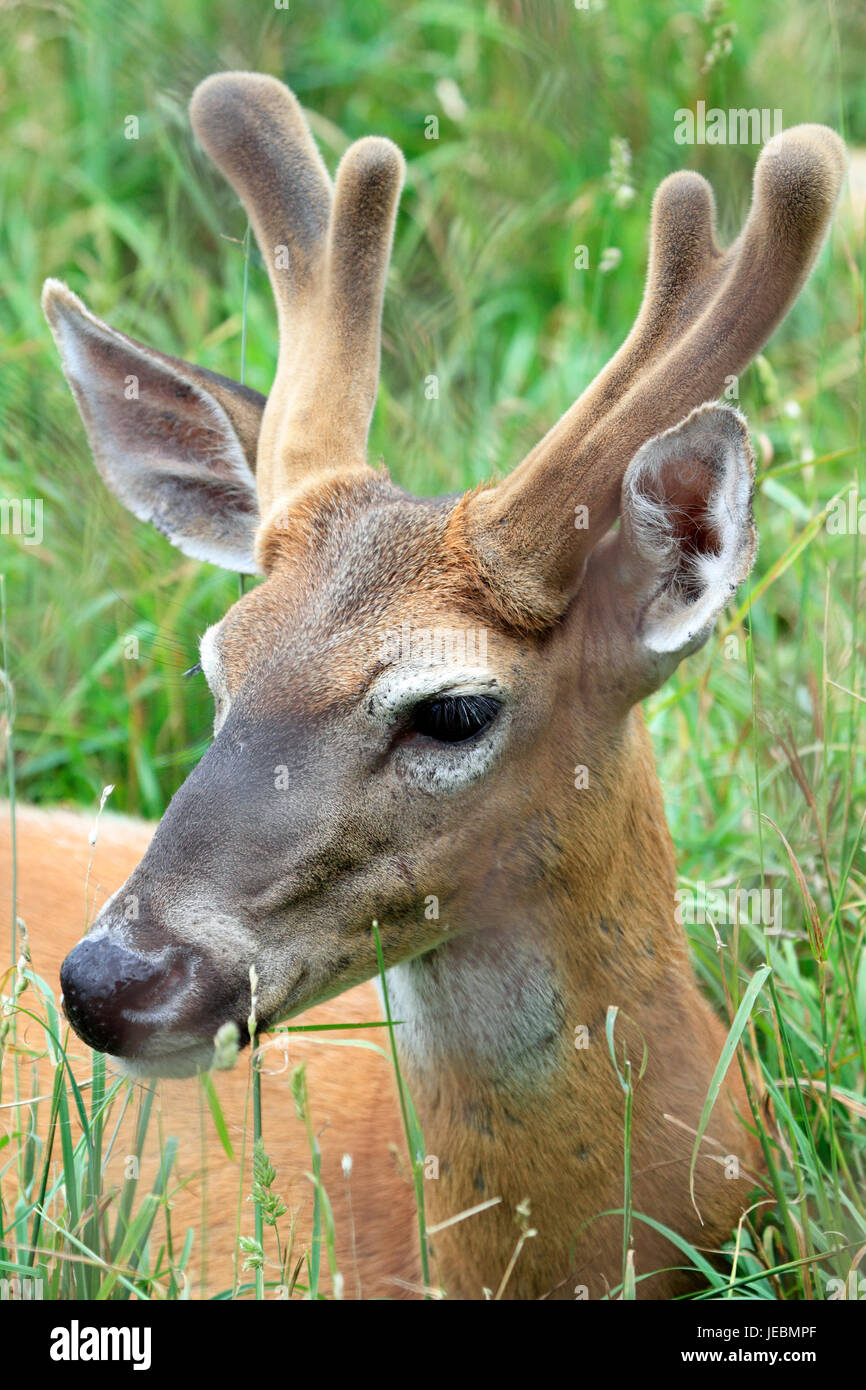 A White-tailed Deer, Odocoileus virginianus, buck with velvet antlers, Space Farms Zoo and Museum, Sussex County, - Stock Image