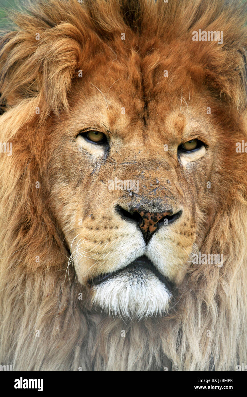 An African Lion, Panthera leo, at Space Farms Zoo and Museum, Sussex County, New Jersey, USA - Stock Image