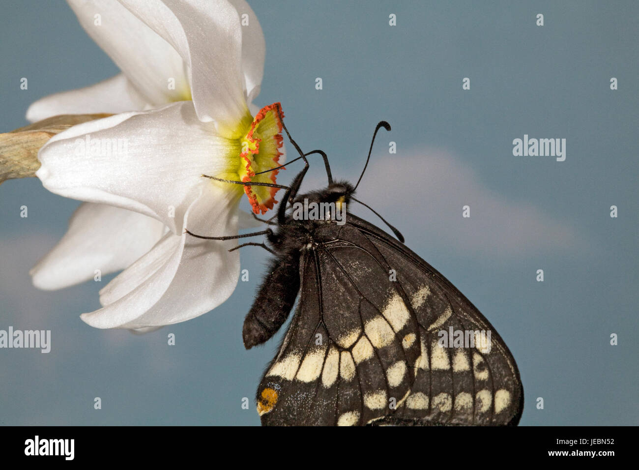 Indra Swallowtail butterfly, Papilio indra,  nectaring on a Pheasant's eye wild flower, Narcissus Poetica, Metolius - Stock Image