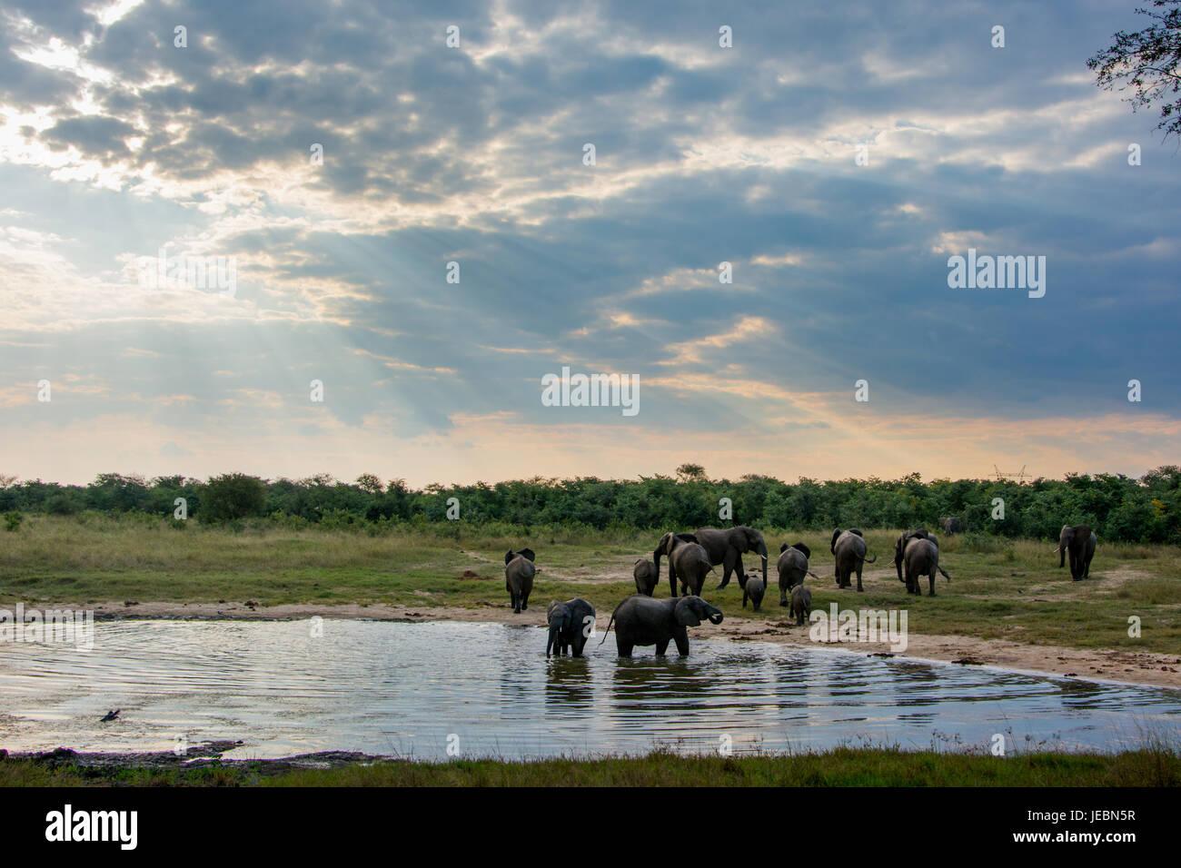Elephants at a watering hole at dusk in Hwange National Park, Zimbabwe - Stock Image