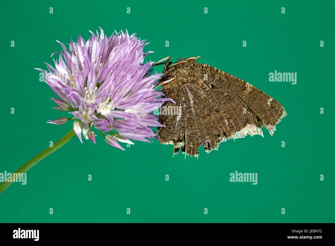 A mourning cloak butterfly, Nymphalis antiopa, playing dead with antenna hidden between its wings, on wild clover. - Stock Image