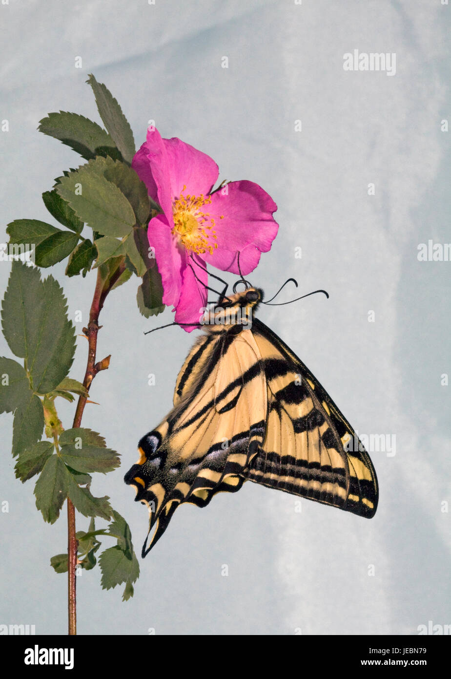 A Western Tiger Swallowtail butterfly, Papilio rutulus, on a wild Nooka Rose. - Stock Image