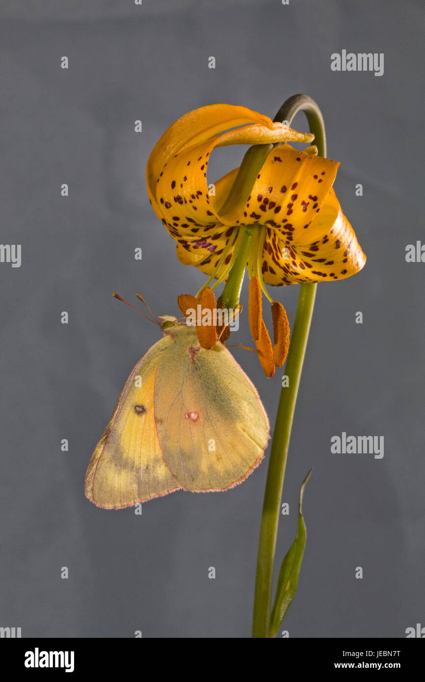A clouded sulphur butterfly, Colias philodice eriphyle, on a Columbia lily, or tiger lily, Lilium columbianum, on - Stock Image