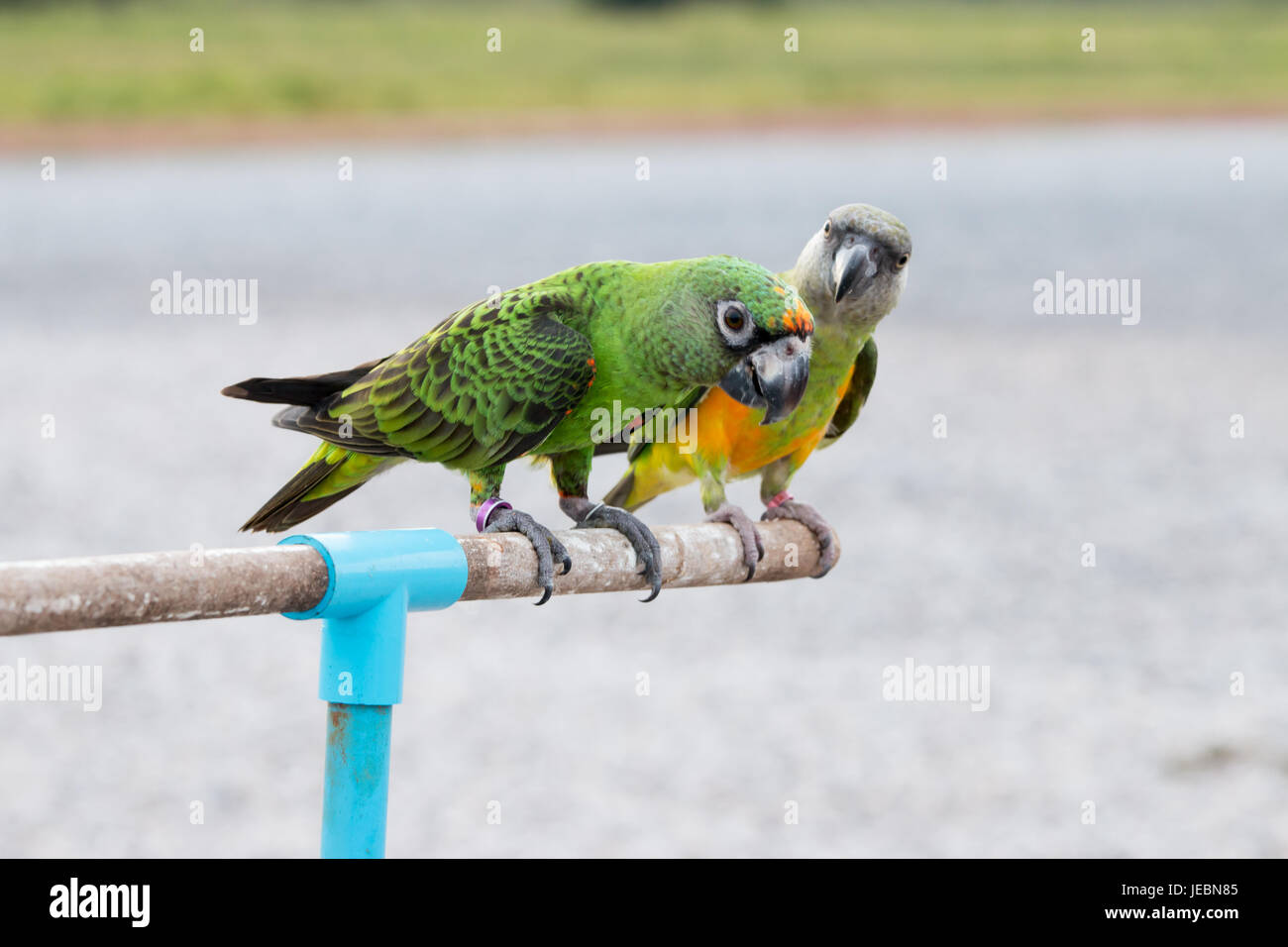 Parrot on a perch on wooden background nature in the evening. - Stock Image