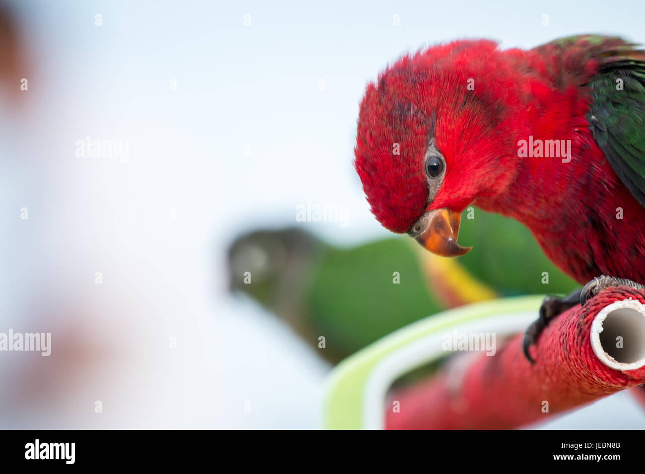 Sun conure Parrot on nature background in the evening. - Stock Image