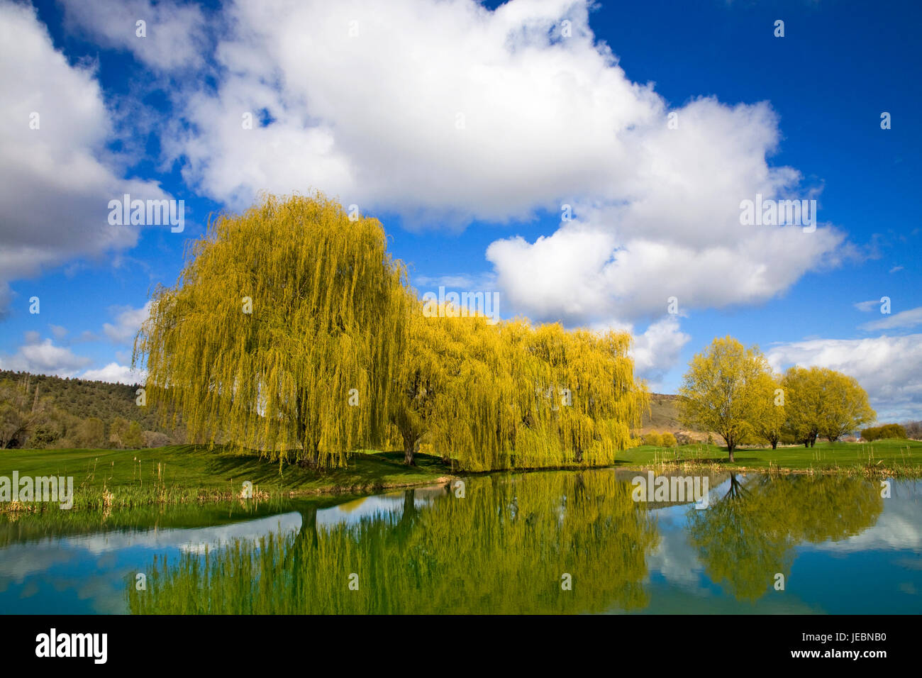 A large weeping willow tree on a grassy lawn on an early spring day. Stock Photo