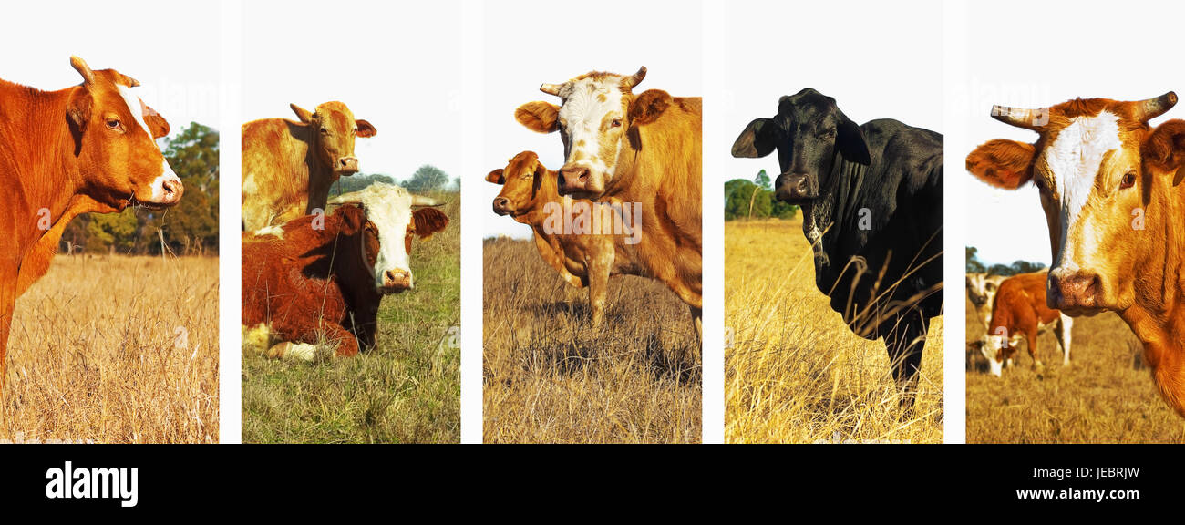 Set Of Beef Cattle Images In Panoramic Banner Form For Cows Stock Photo Alamy