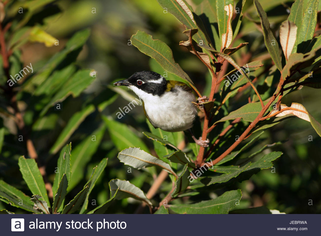 An adult White-throated Honey-eater with a prey item perched on a banksia branch. - Stock Image