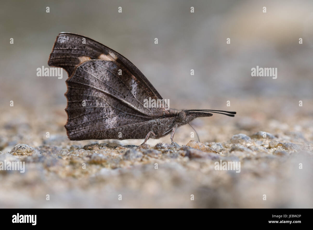 The Club Beak (Libythea myrrha) is a butterfly found in Asia that belongs to the Libytheinae group of the Brush - Stock Image