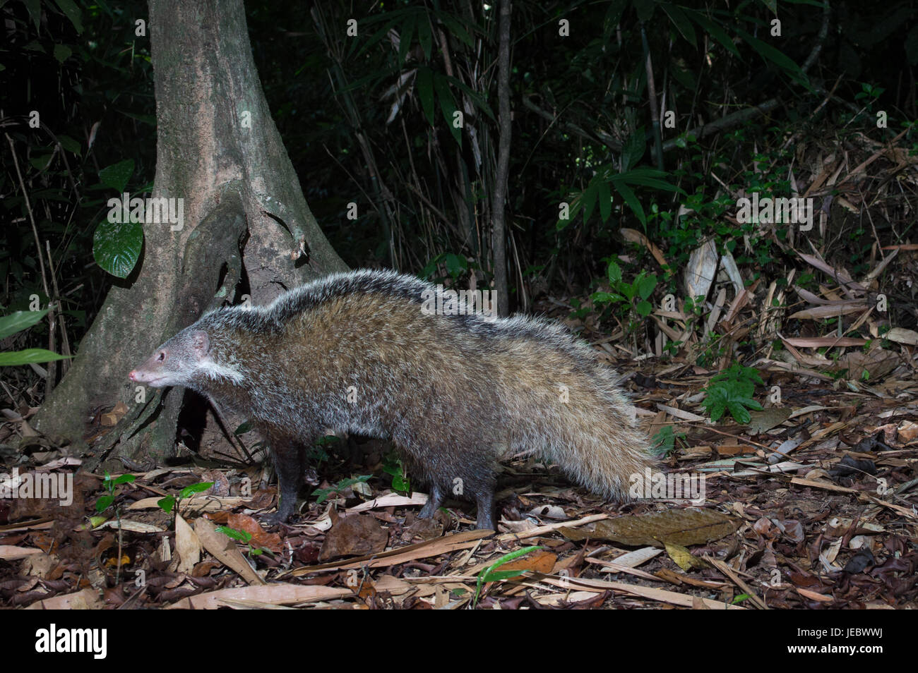 The crab-eating mongoose (Herpestes urva) is a mongoose species ranging from the northeastern Indian subcontinent - Stock Image