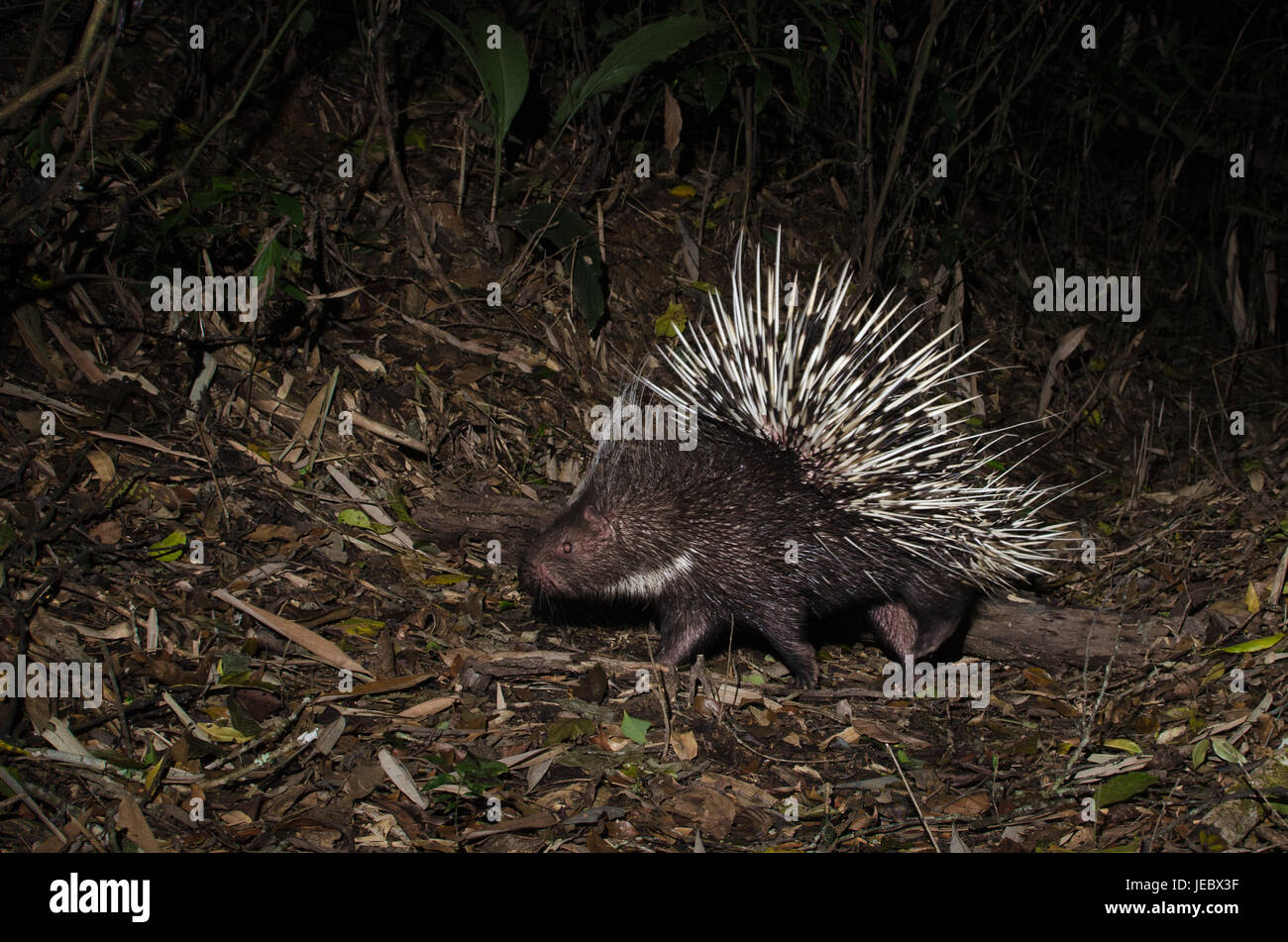 The Malayan porcupine or Himalayan porcupine (Hystrix brachyura) is a species of rodent in the family Hystricidae. - Stock Image