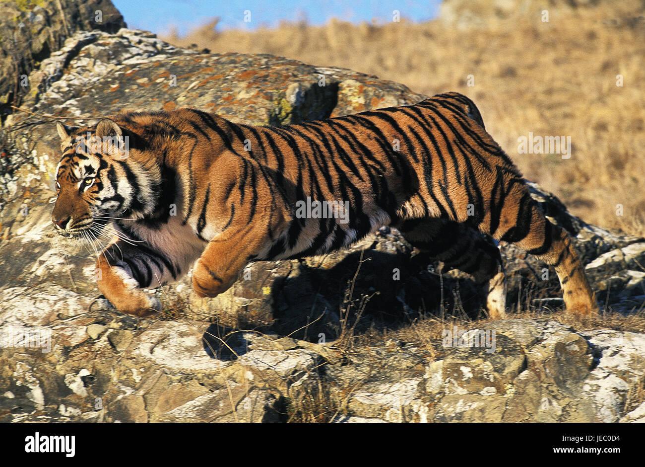 Bengali tiger, Panthera tigris tigris, adult animal, jump, rocks, - Stock Image