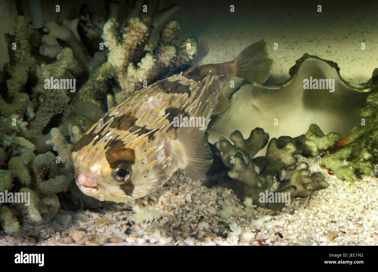 Usual hedgehog's fish, Diodon hystrix, - Stock Image
