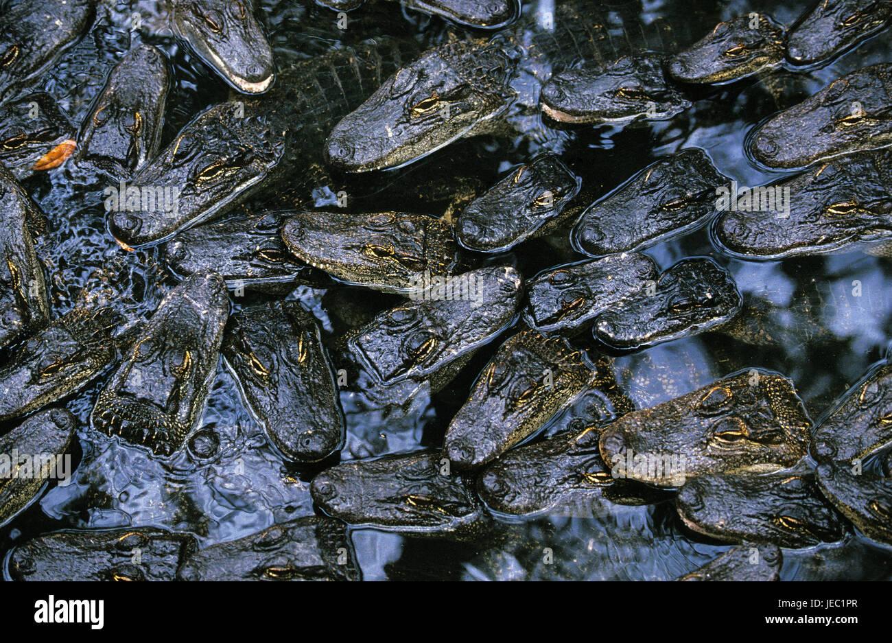Mississippi alligators, alligator mississipiensis, young animals, crocodile farm, - Stock Image