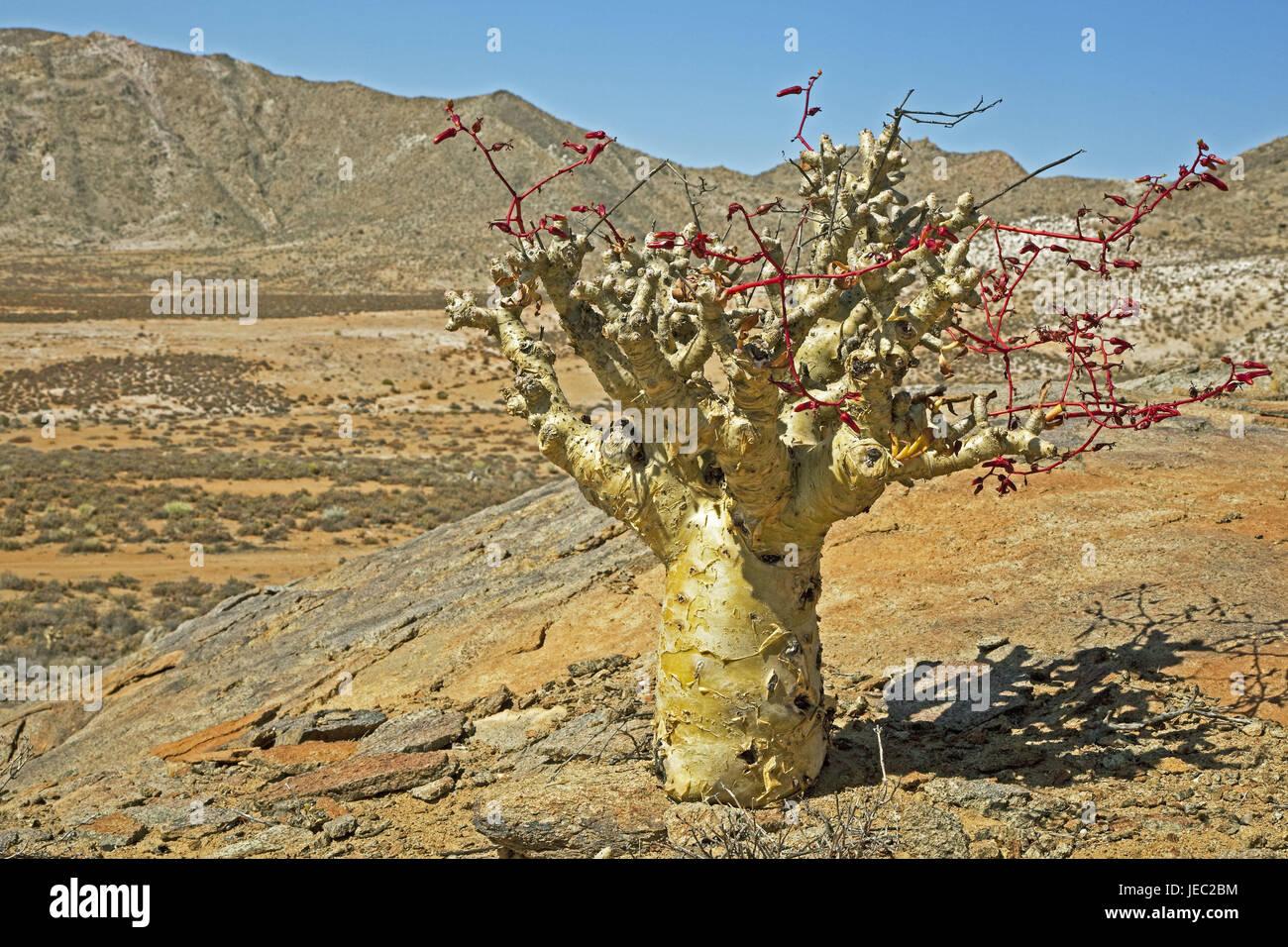 South Africa, Namaqualand, succulent, Botterboom, Tylecodon paniculatus, scenery, mountain landscape, desert, coastal - Stock Image