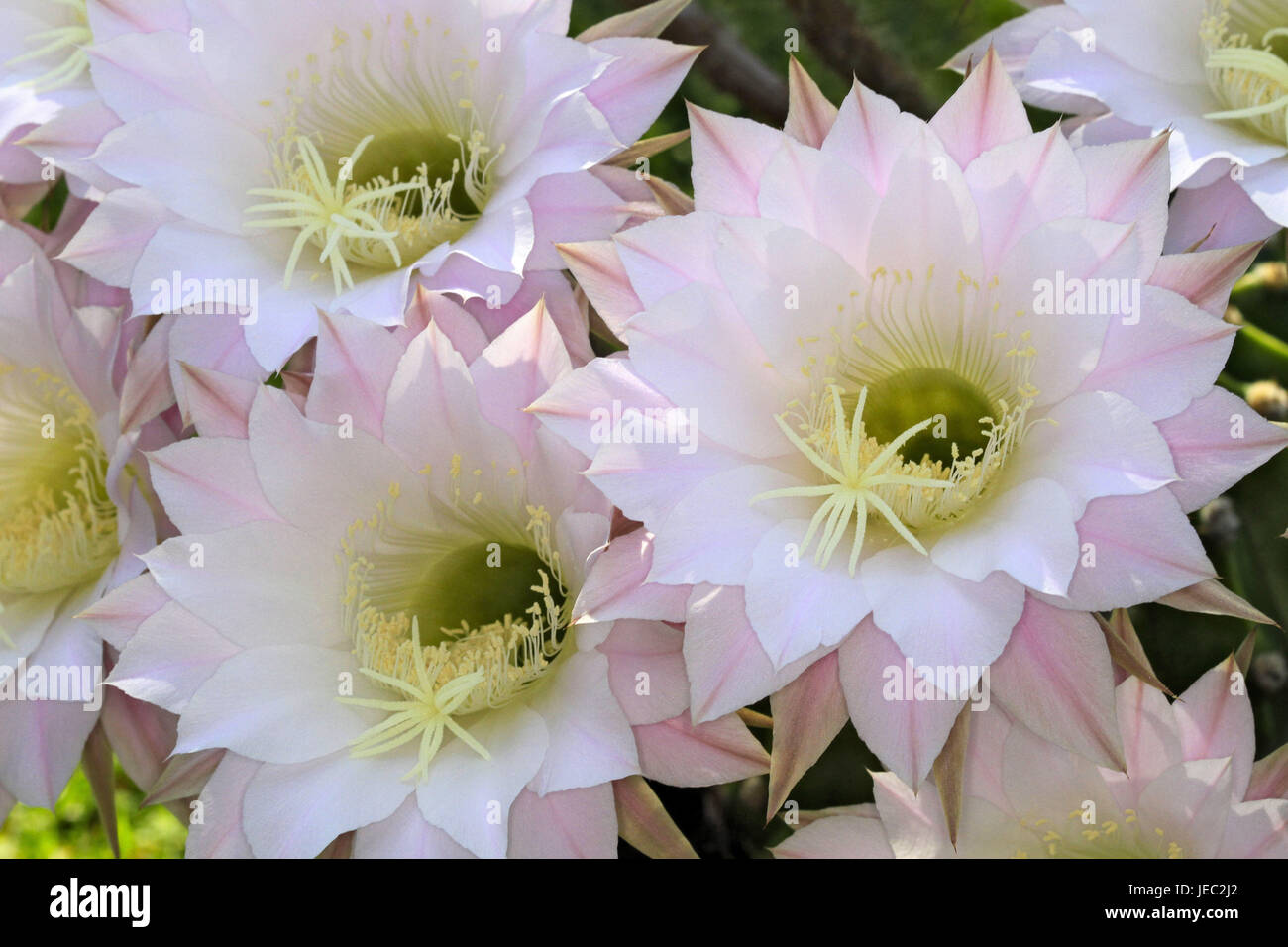 Hedgehog's cactus, blossom, Echinopsis, hybrida, cactus, cactus plant, spiny, blossoms, white, pink, softly, - Stock Image