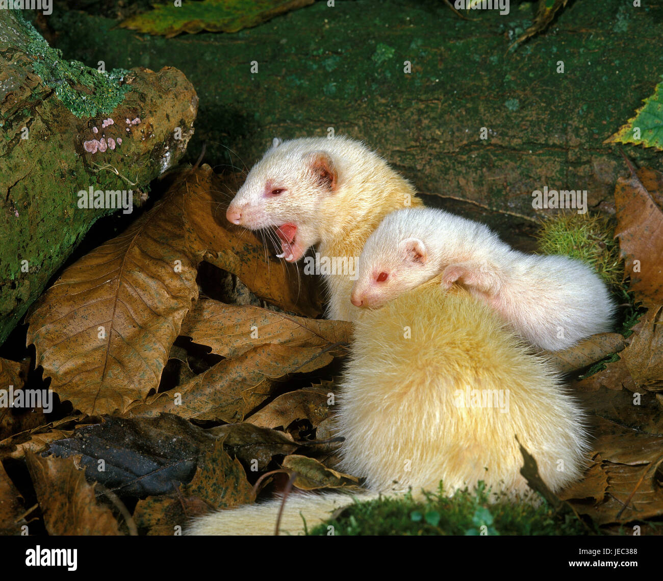 Ferrets, Mustela putorius furo, mother animal with young animal, Stock Photo
