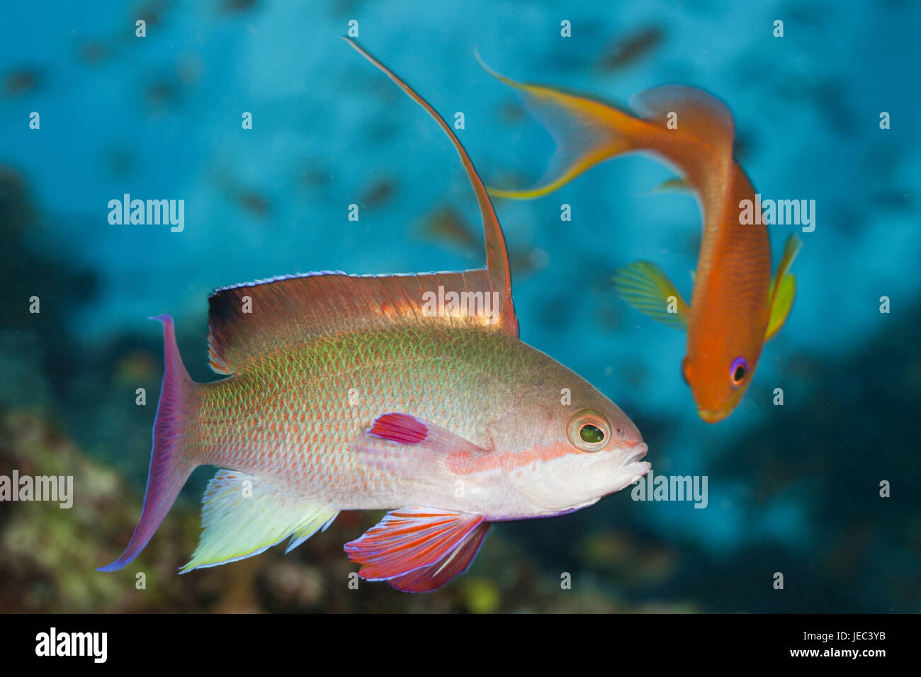 Jewels-flag perches, Pseudanthias squamipinnis, Namena marine park, Fiji, - Stock Image