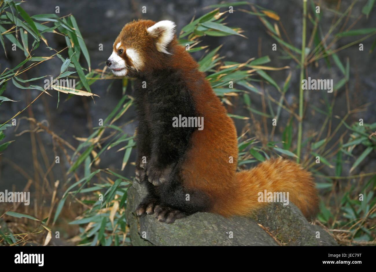 Small panda, Ailurus fulgens, sits on rock, - Stock Image