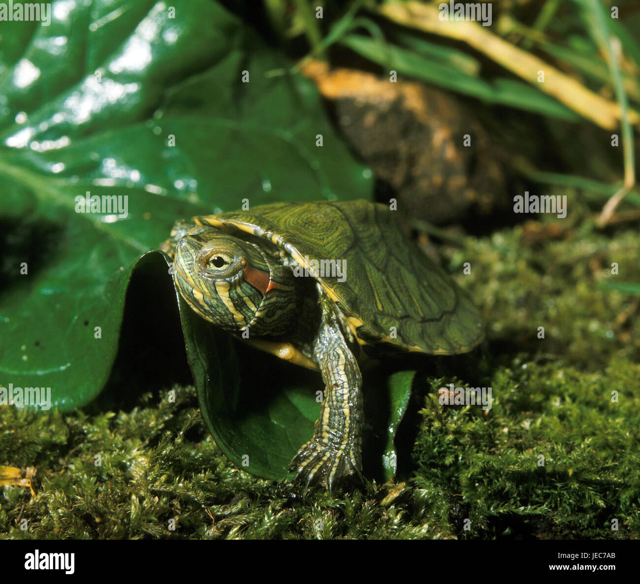 Red cheeks-jewellery tortoise, Trachemys scripta elegans, - Stock Image