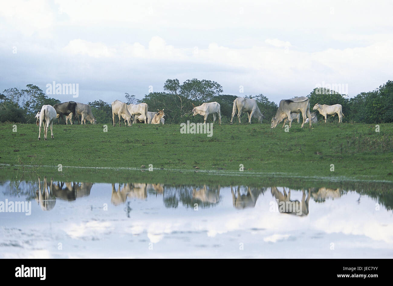 Belize, Crooked Tree, pastureland, cow's focuses, Central America, agriculture, cattle breeding, keeping of - Stock Image