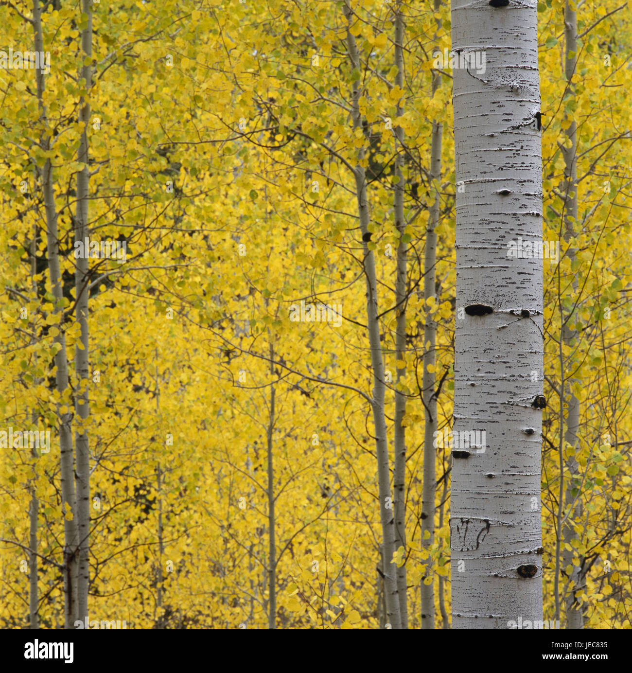 Birch forest, detail, autumn, wood, deciduous forest, trees, broad-leaved trees, trunks, birch strains, leaves, - Stock Image