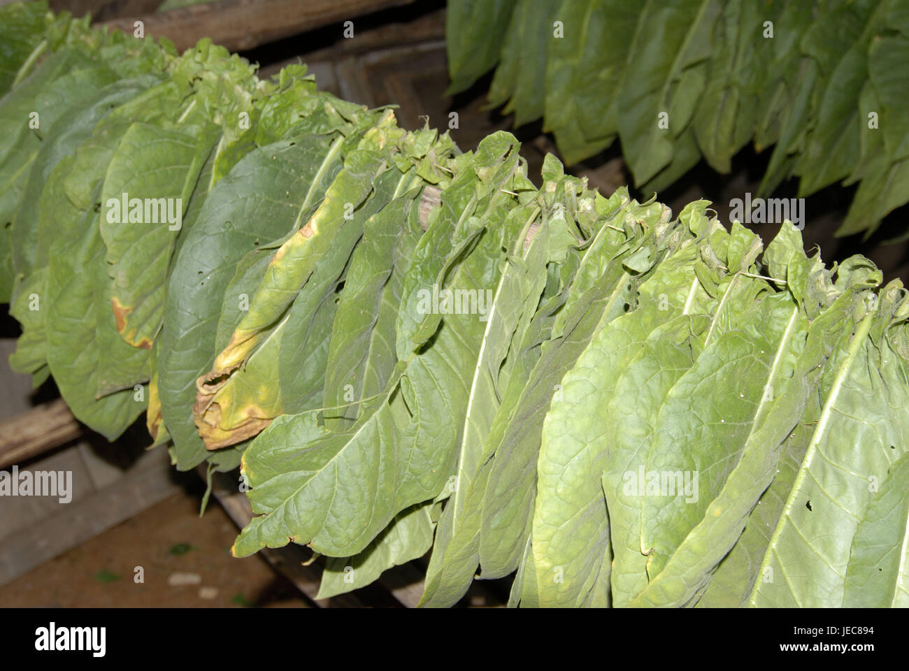 Cuba, Vinales, tobacco leaves, drying, the Caribbean, island, device, leaves, tobacco, hang up, hang, dry, air-dry, - Stock Image