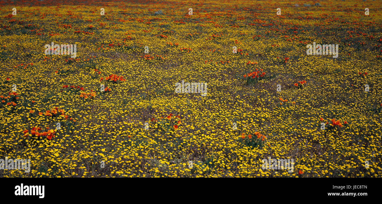 The USA, California, Mojavewüste, flower meadow, North America, Lancaster, deserted, nature, vegetation, meadow, - Stock Image