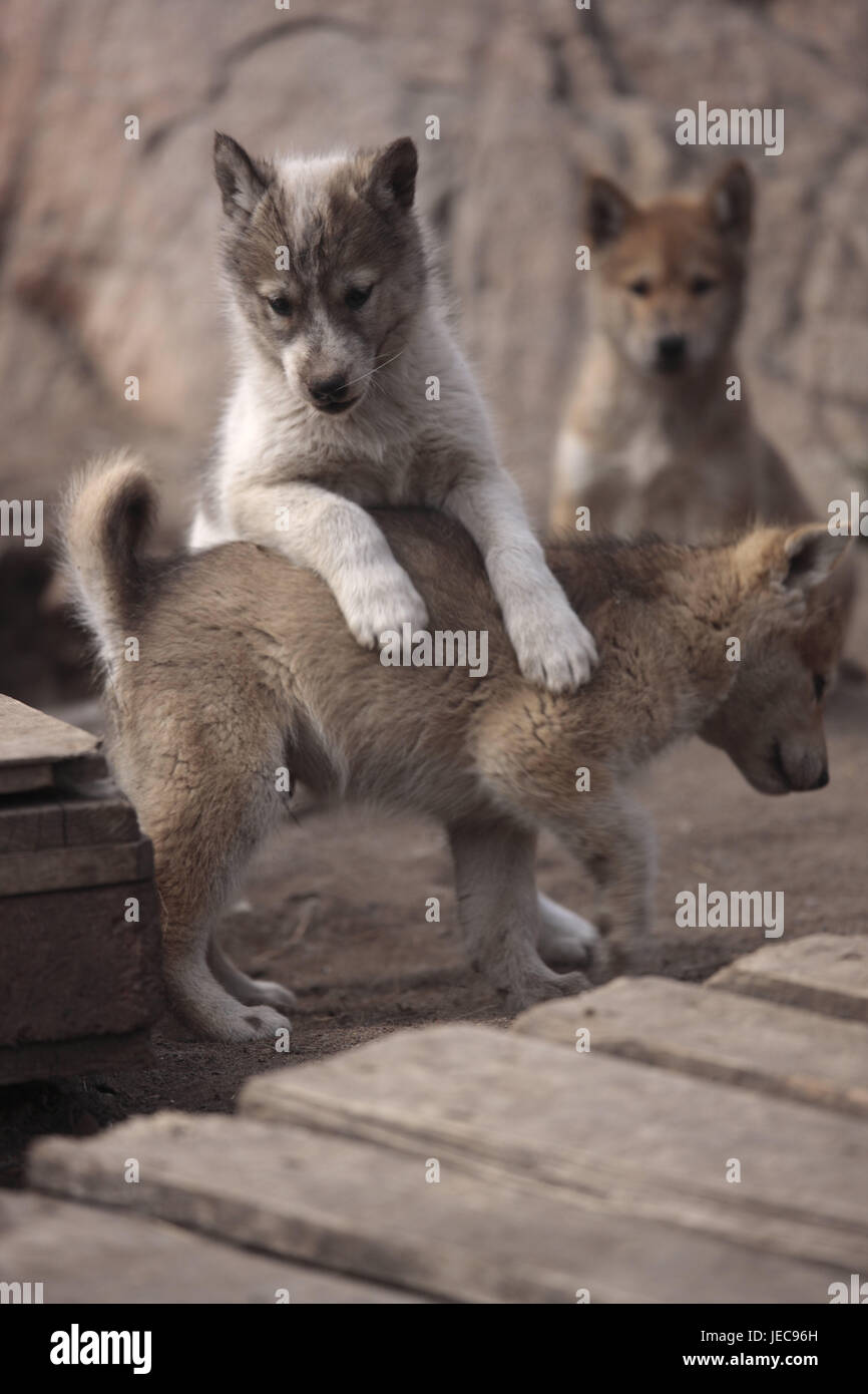 Greenland, Sisimiut, sled dogs, huskies, puppies, loses, Western Greenland, animals, dogs, benefit animals, outside, - Stock Image