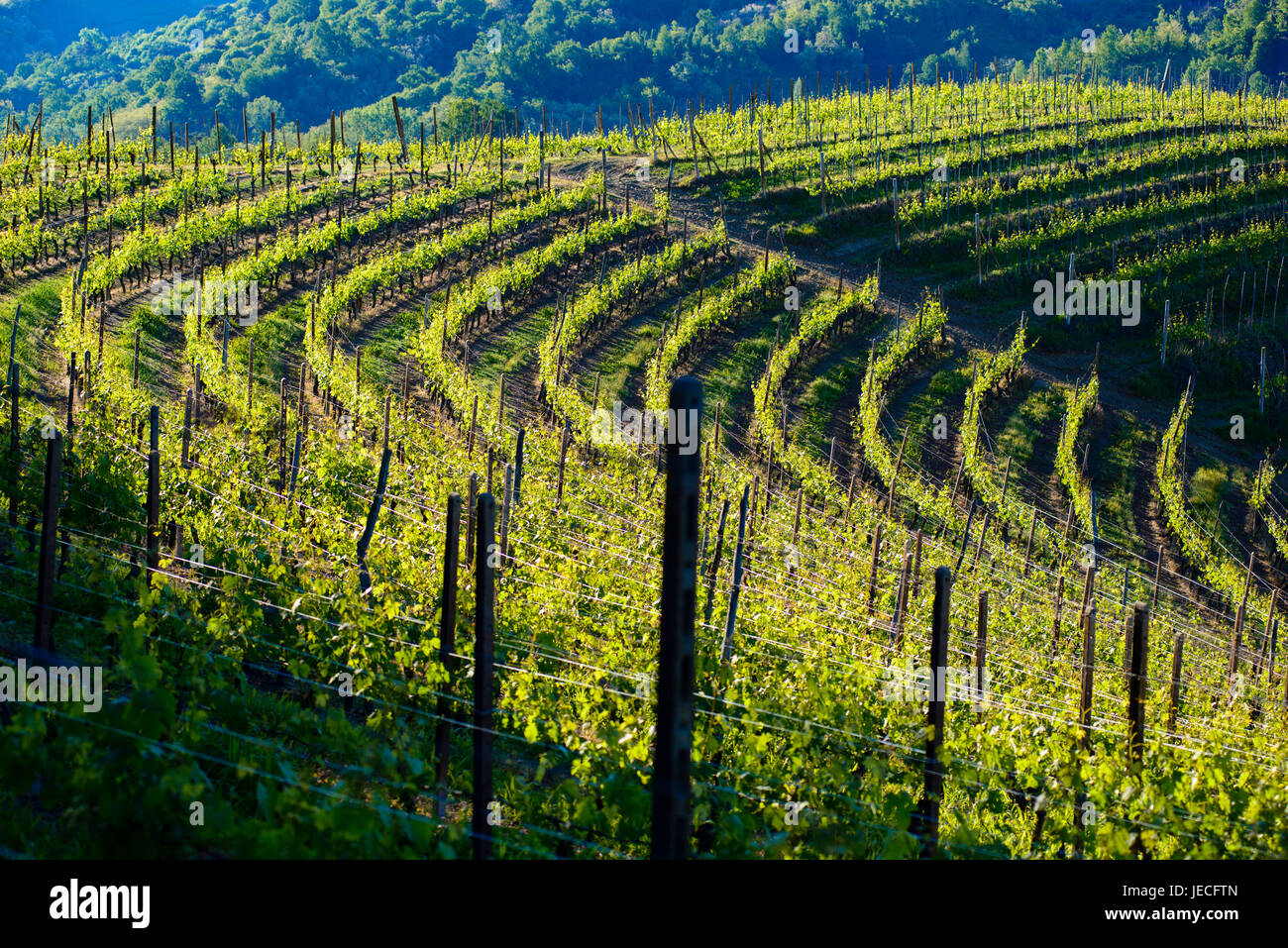 View of vineyards and woods in the morning light - Stock Image