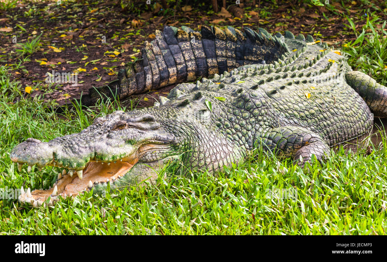 Saltwater crocodile in Kakadu, Northern Territory, Australia. - Stock Image