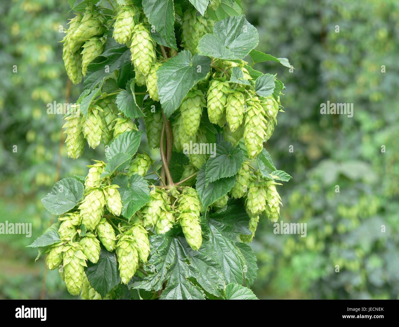 Tettnanger Hops - Stock Image