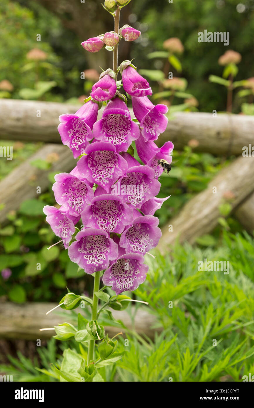 Blooming Pam's choice flower in the garden - Stock Image