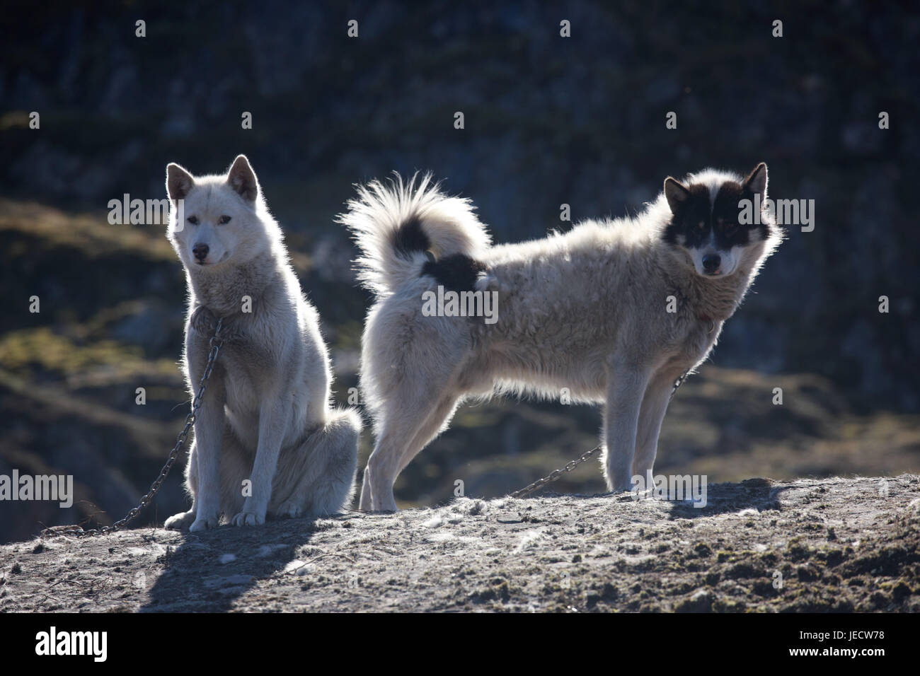 Greenland, Sisimiut, sled dogs, huskies, two, Western Greenland, rocks, animals, dogs, benefit animals, catenas, - Stock Image