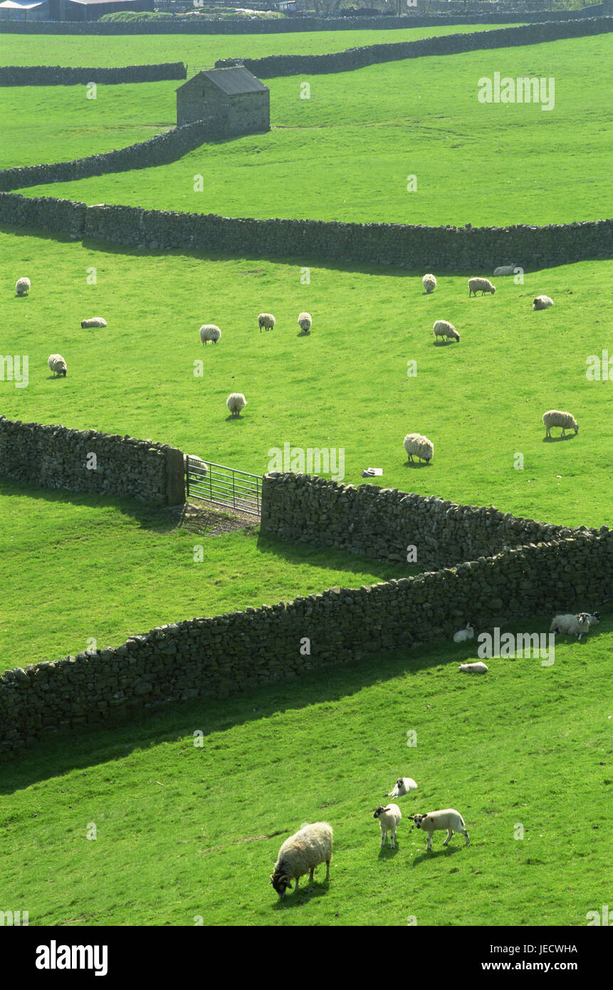 Great Britain, England, Yorkshire Dales, Swaledale, field scenery, defensive walls, sheep, graze, put out to pasture - Stock Image