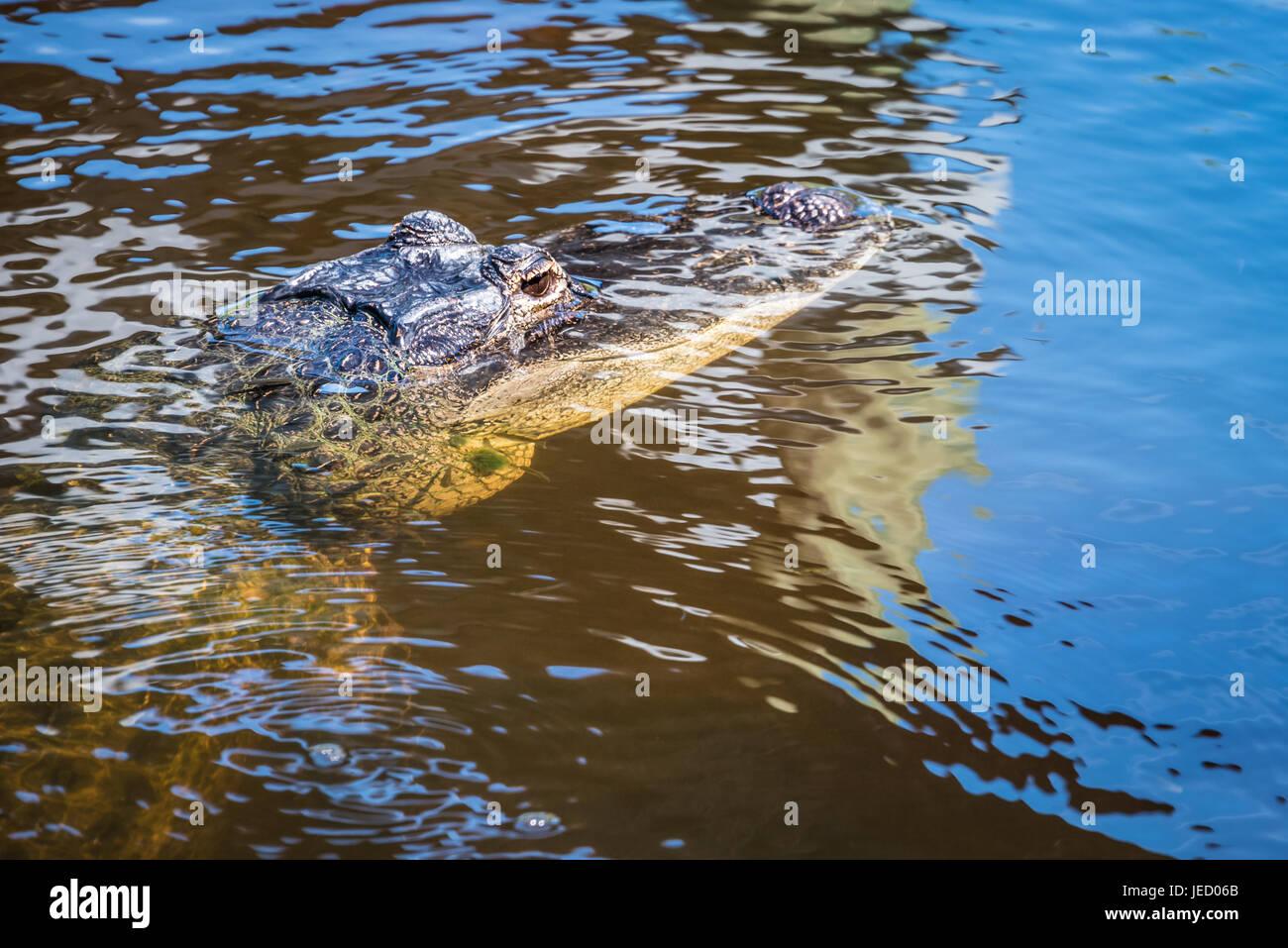Florida alligator. - Stock Image