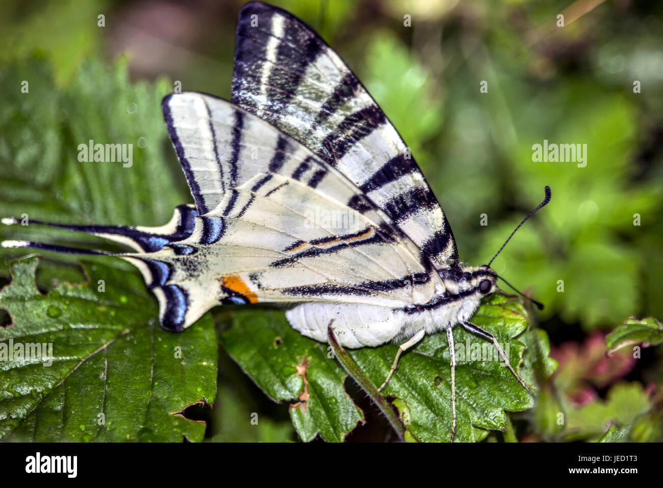 Scarce Swallowtail (Iphiclides podalirius) on a wild strawberry leaf - Stock Image
