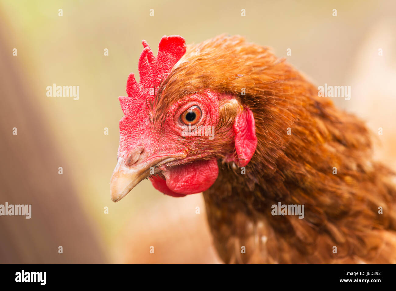 A red domestic chicken in the garden with copy space. - Stock Image