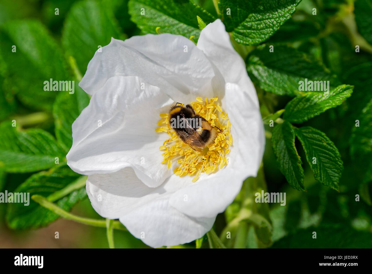 close up of a common White Tailed bee taking pollen from a large white Dog Rose flower in the sunshine Stock Photo