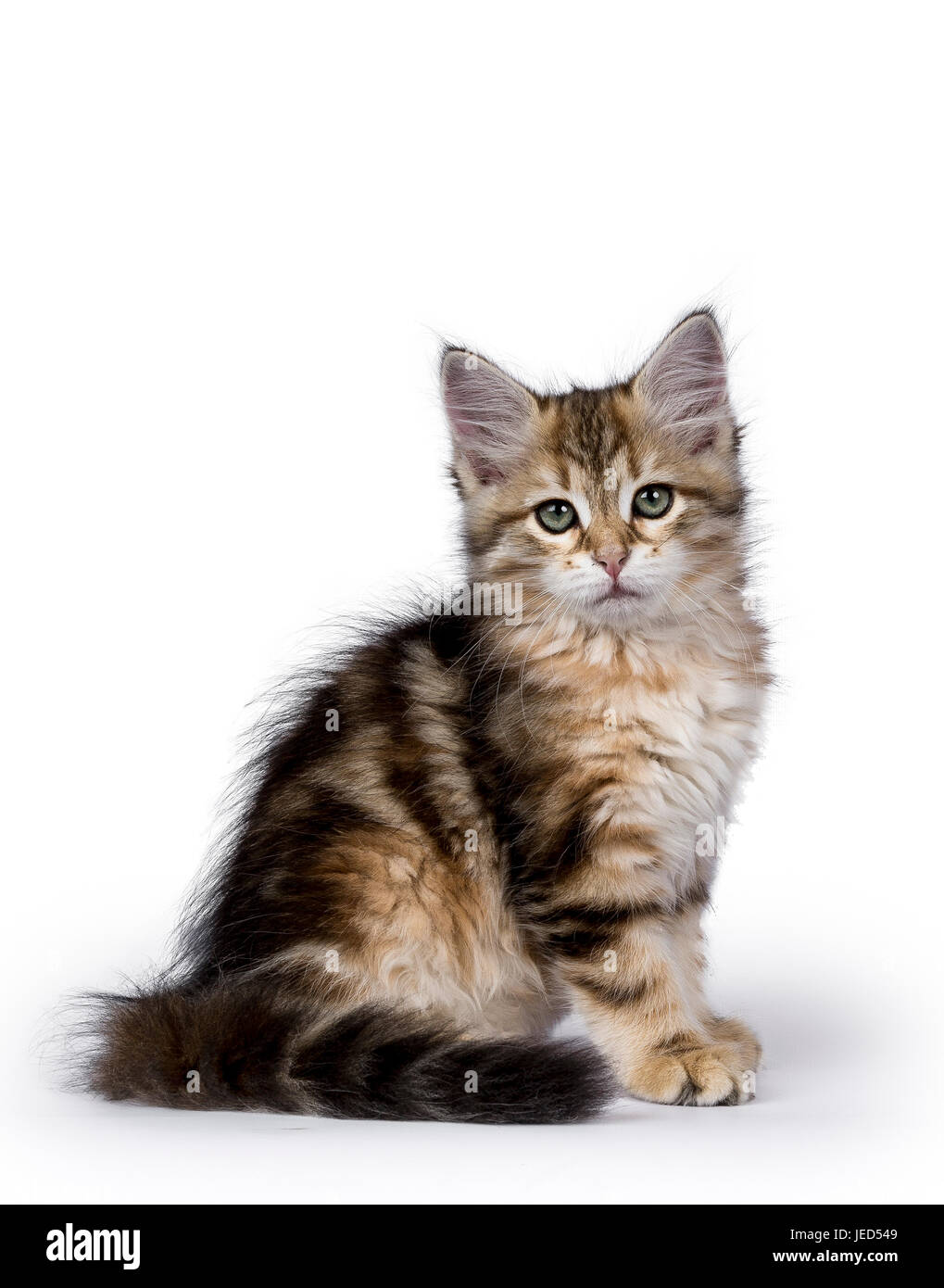Black tabby Siberian Forest cat / kitten sitting side ways isolated on white background facing camera - Stock Image