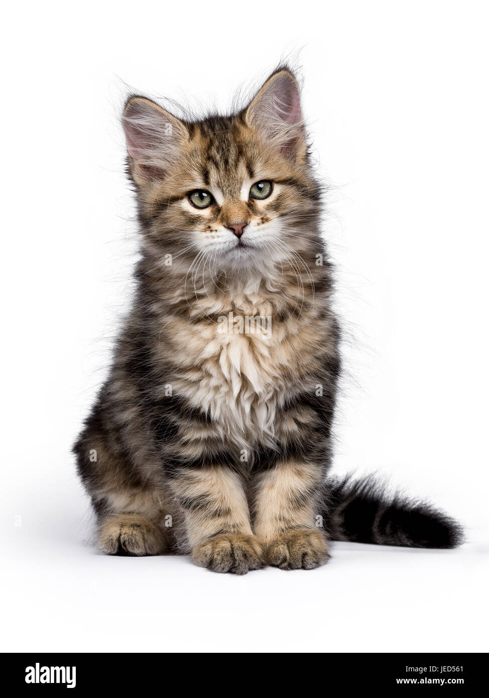 Black tabby Siberian Forest cat / kitten sitting isolated on white background looking to the side - Stock Image