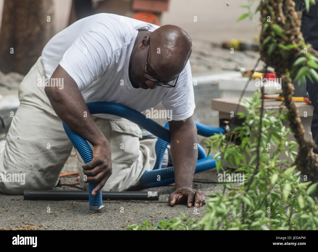New York, NY 21 June 2017 - A Beekeeper and member of the NYPD Emergency Services Unit, vacuums up random bees after - Stock Image